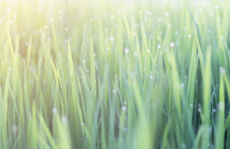 Роса на зеленых листьях рисовой посадки bokeh и нерезкость рисовой посадки стоковое изображение