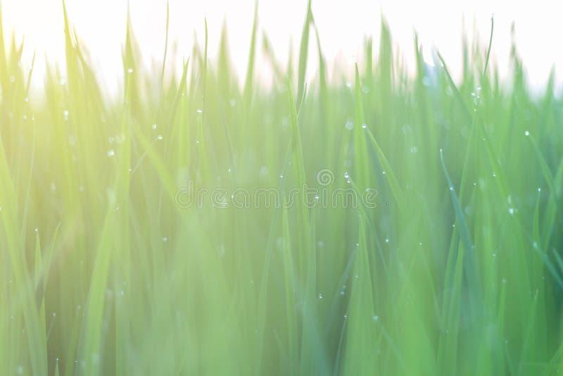 Роса на зеленых листьях рисовой посадки bokeh и нерезкость рисовой посадки стоковые фото
