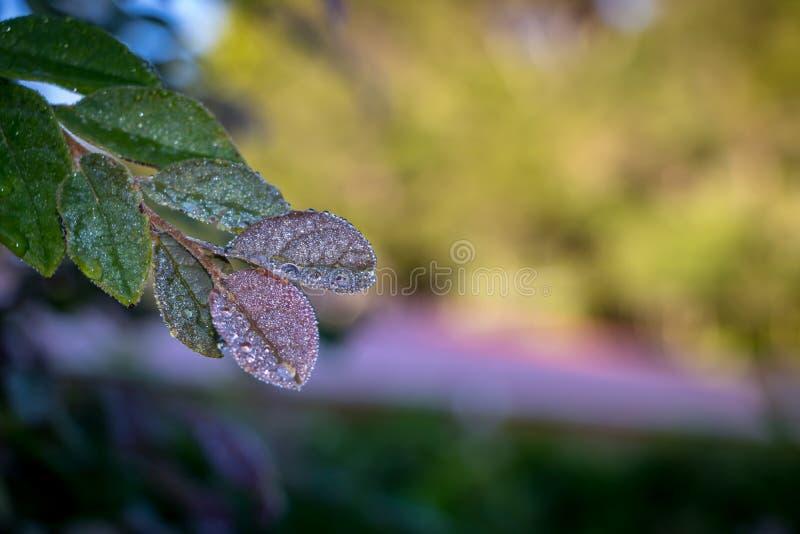 Роса на листьях, предпосылка нерезкости Bokeh стоковая фотография
