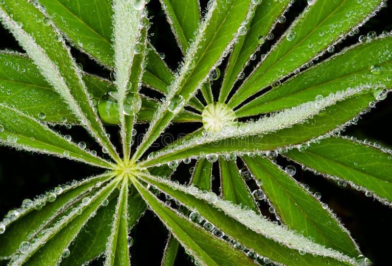 Роса на листьях lupine стоковое фото
