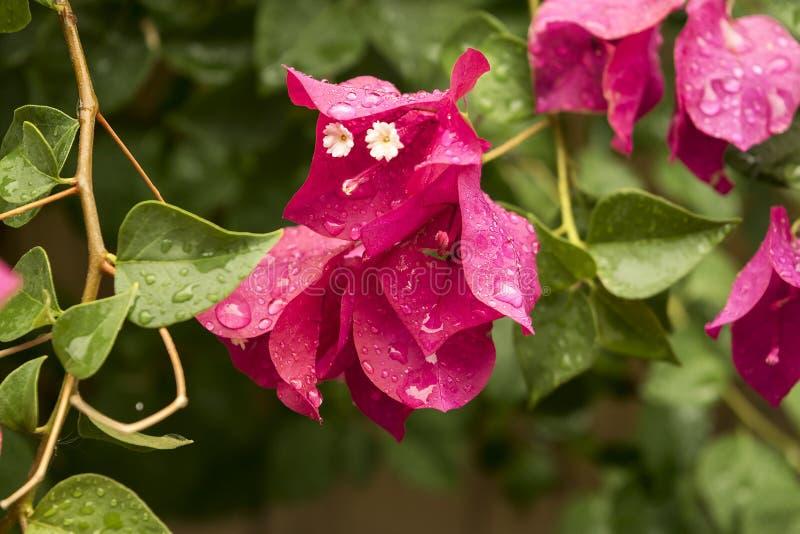 Роса на розовом цветке стоковое изображение rf
