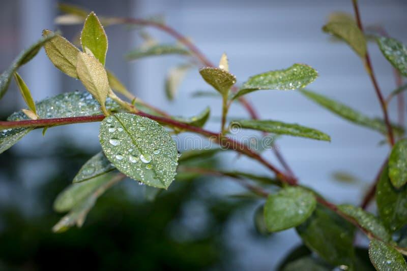 Роса на саде выходит NZ рано утром стоковая фотография rf