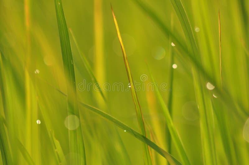 Роса на свежей зеленой траве с падениями воды внутри в утре Gre стоковая фотография rf