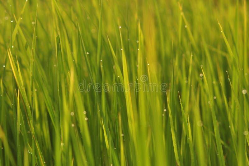 Роса на свежей зеленой траве с падениями воды внутри в утре Gre стоковое фото rf