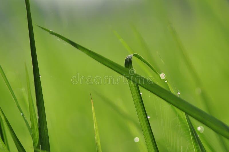 Роса на свежей зеленой траве с падениями воды внутри в утре Gre стоковые фото