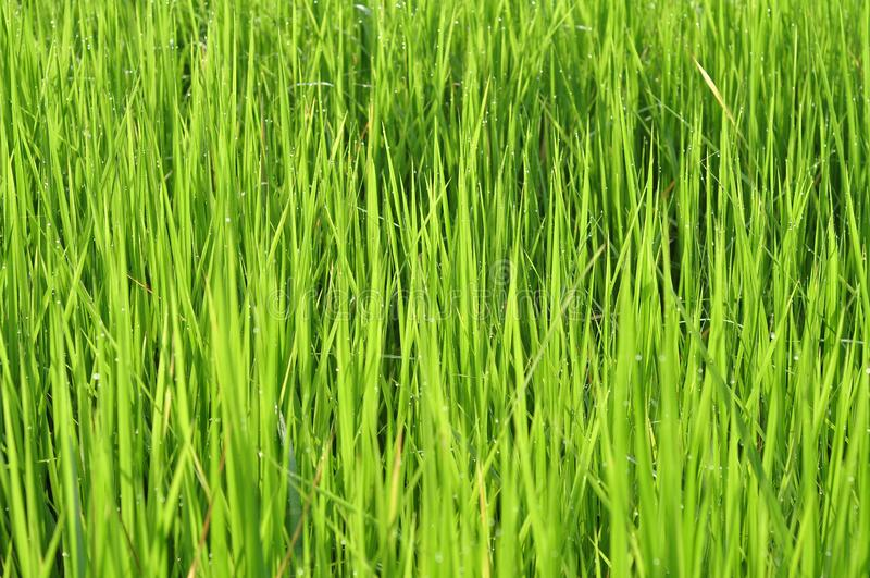 Роса на свежей зеленой траве с падениями воды внутри в утре Gre стоковые изображения rf