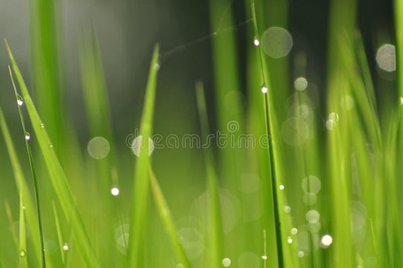 Роса на свежей зеленой траве с падениями воды внутри в утре Gre стоковое изображение rf