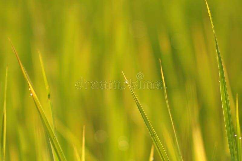 Роса на свежей зеленой траве с падениями воды внутри в утре Gre стоковые изображения
