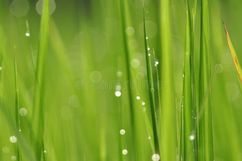 Роса на свежей зеленой траве с падениями воды внутри в утре Gre стоковое фото