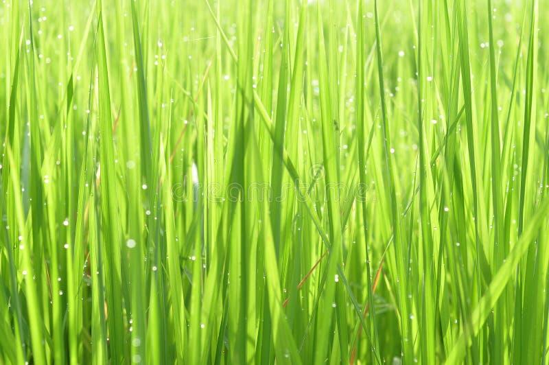 Роса на свежей зеленой траве с падениями воды внутри в утре Gre стоковые фотографии rf