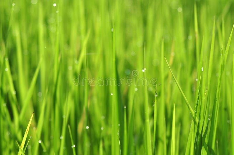 Роса на свежей зеленой траве с падениями воды внутри в утре Gre стоковое изображение