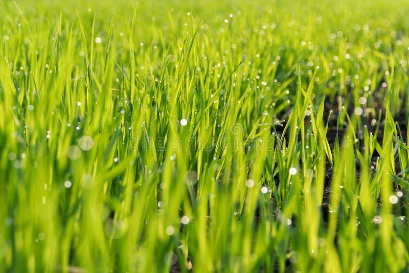 Роса утра на зеленых всходах овсов стоковое фото rf
