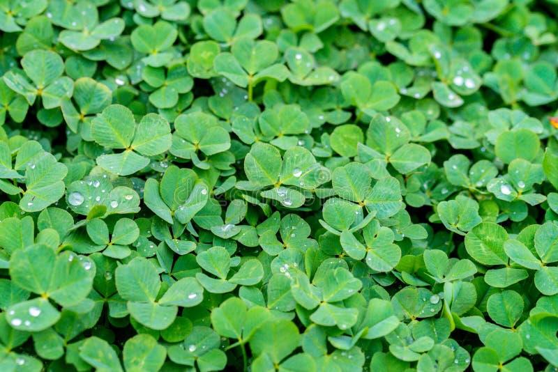 Роса утра на листьях clower стоковые изображения