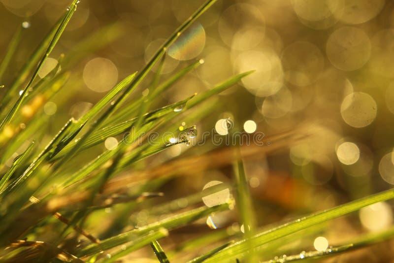 Роса утра на лезвиях травы в теплом солнечном свете стоковое фото rf