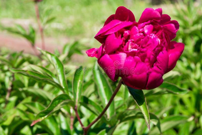 Роса утра на цветке пиона стоковая фотография