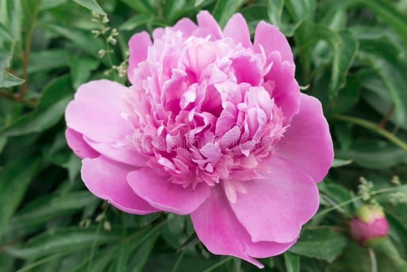 Роса утра на цветке пиона стоковые изображения rf