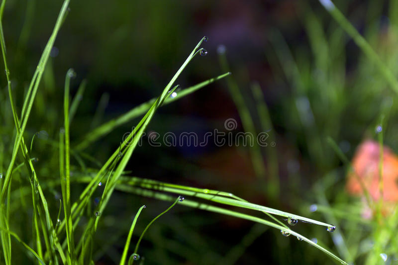 роса стоковое изображение rf