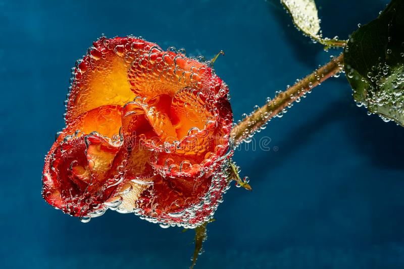 Роскошная оранжевая роза с пузырями воды стоковое фото rf