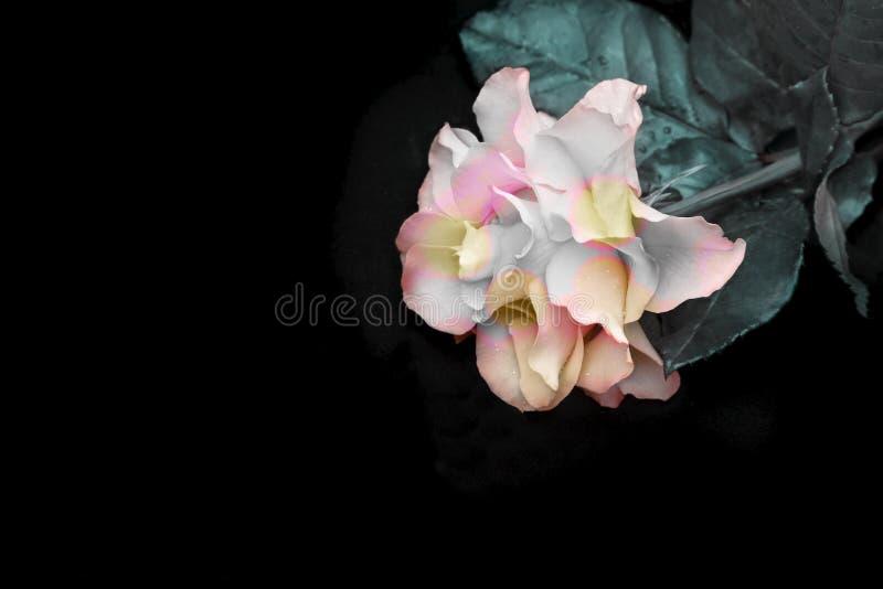 Роскошная первоначальная роза на черной предпосылке стоковые фотографии rf