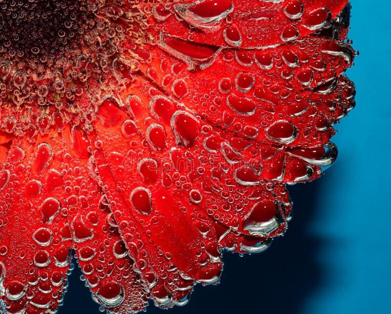 Роскошный красный gerbera с пузырями воды стоковая фотография