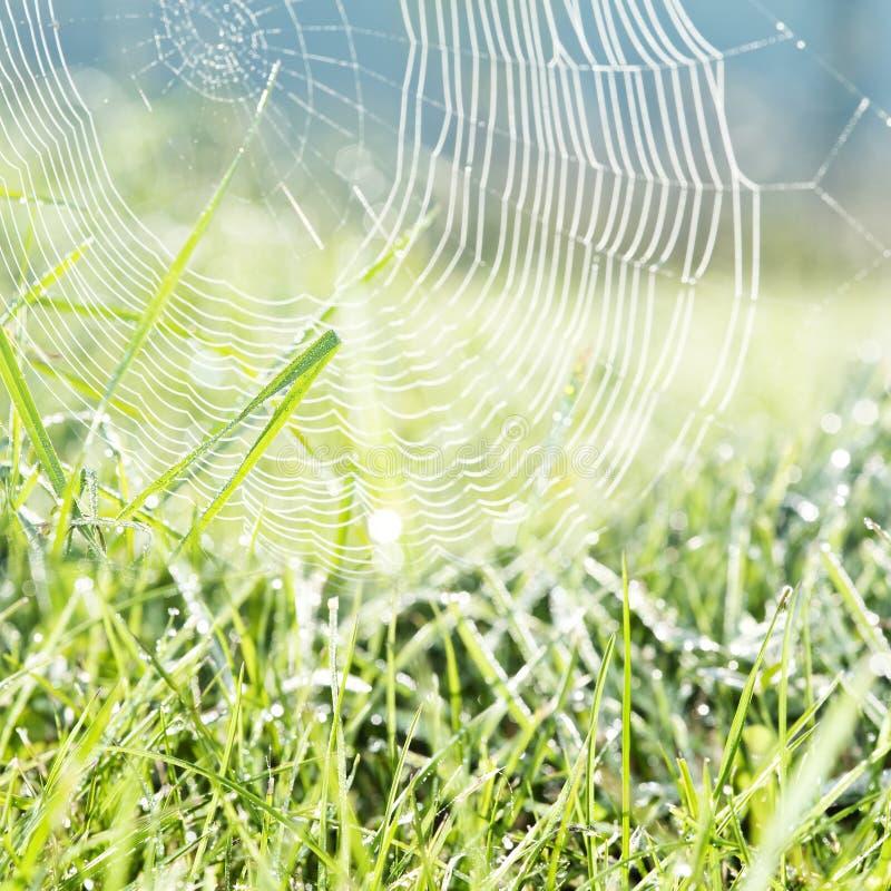 Росная трава и росная сеть спайдера стоковое изображение