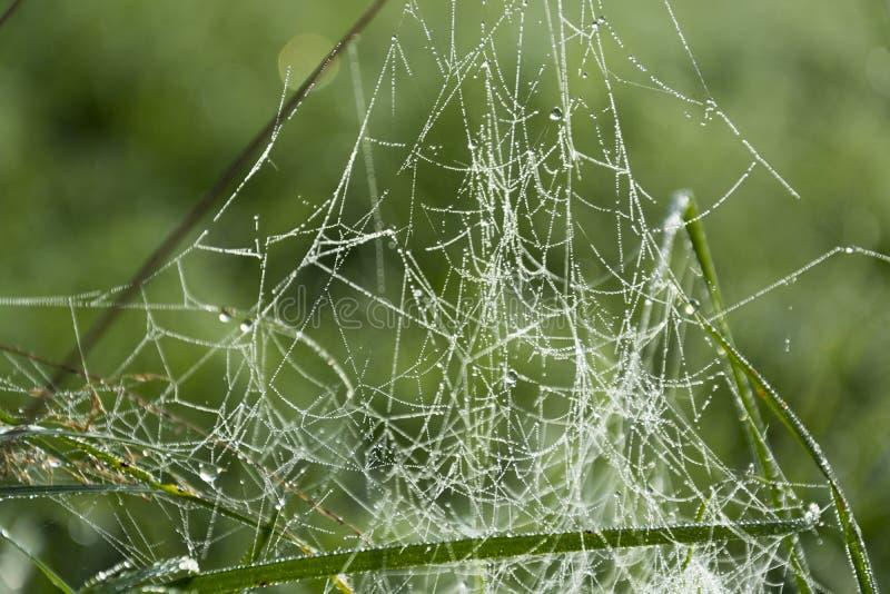 Росный паук стоковое изображение rf