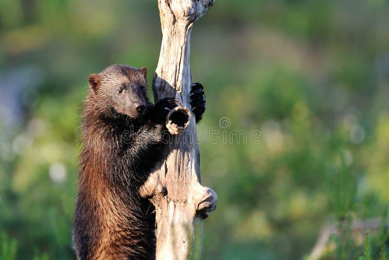 Росомаха взбирается вверх дерево стоковые изображения rf