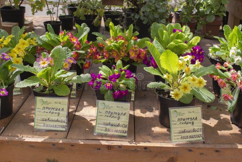 13-05-2019, Россия, Москва, выставка первоцвета цветков сада в фармацевтическом саде стоковая фотография