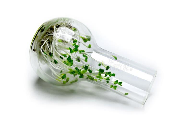 Ростки брокколи в стеклянной склянке стоковое фото