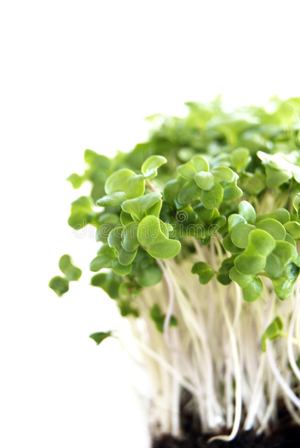 ростки брокколи стоковая фотография rf