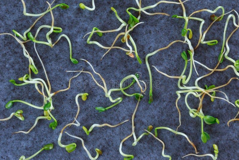 ростки брокколи свежие стоковые фотографии rf
