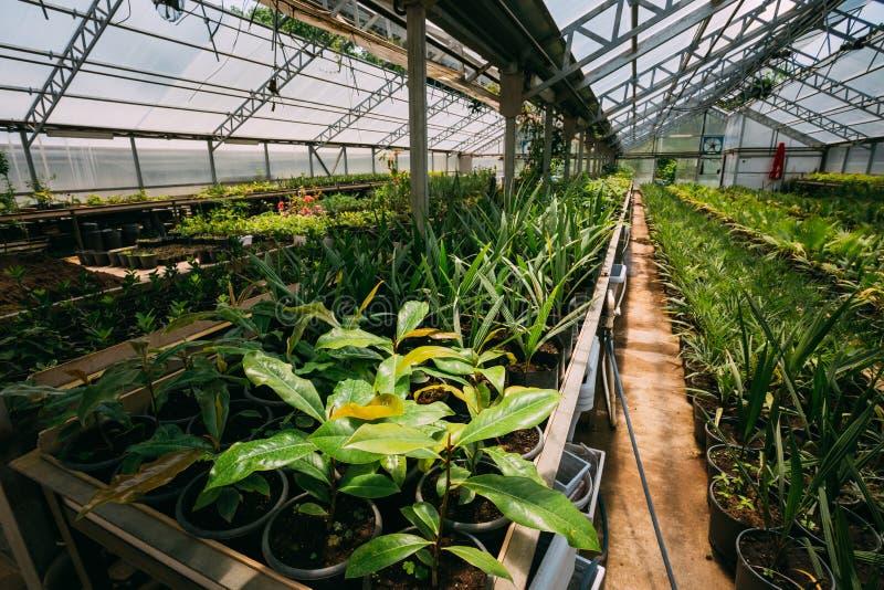 Ростки заводов и деревьев растя от почвы в баках в Greenho стоковое изображение rf
