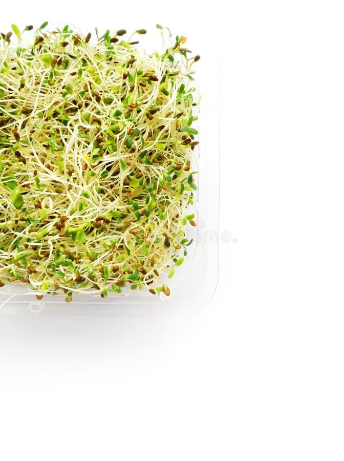 ростки редиски альфальфы стоковые фото