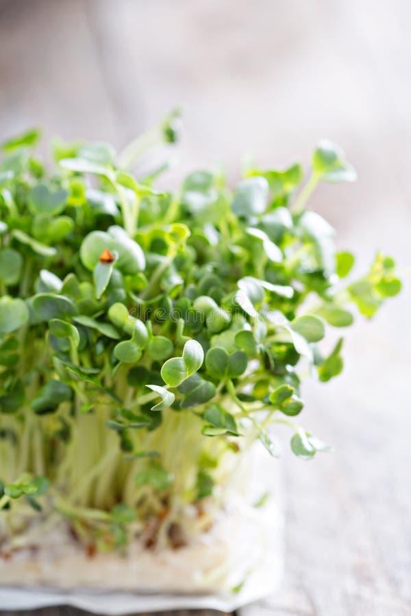 Ростки редисок свежие и зеленые стоковая фотография rf
