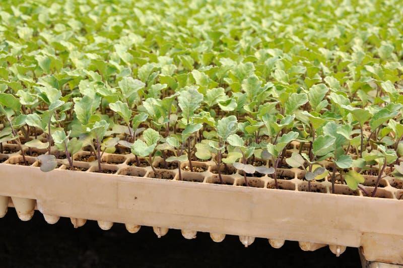 росток брокколи стоковое изображение rf