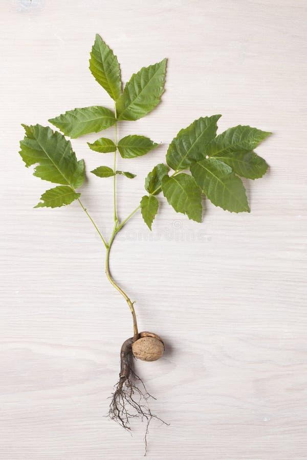 как выглядит росток грецкого ореха фото наилучшие цены