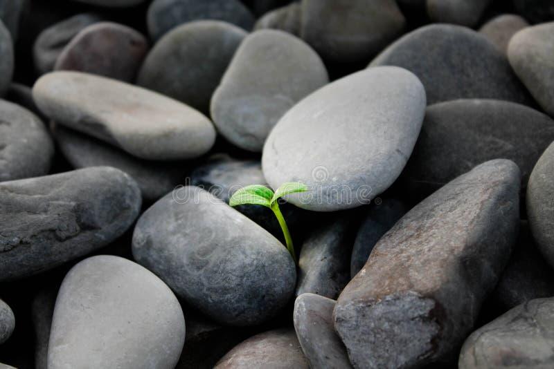 Росток, который выросли среди камней стоковая фотография rf