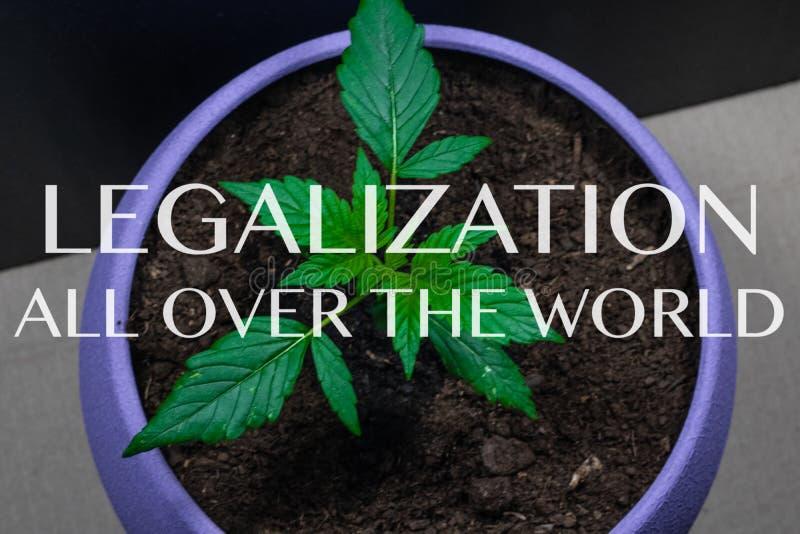 Росток медицинской марихуаны Завод марихуаны растя внутри помещения конопля Узаконение во всем мире стоковое фото rf