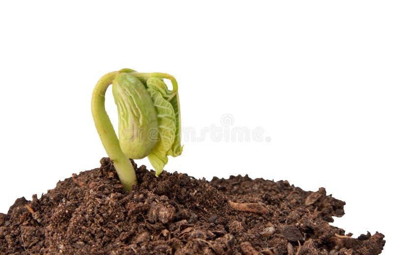 росток фасоли стоковая фотография rf