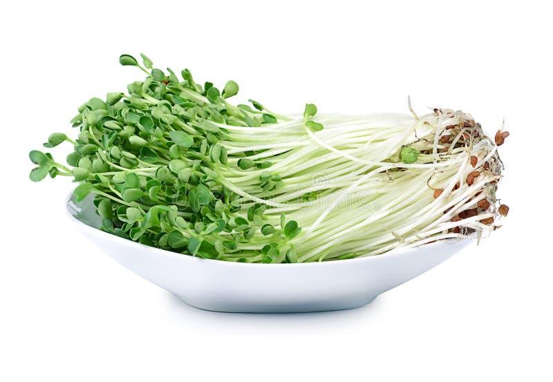 Росток Kaiware, японский овощ или кресс-салат на белом backgr стоковое изображение