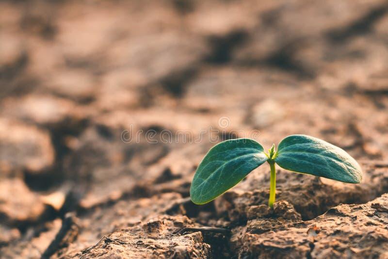 Рост деревьев в засухе, живя с засухой дерева стоковые изображения