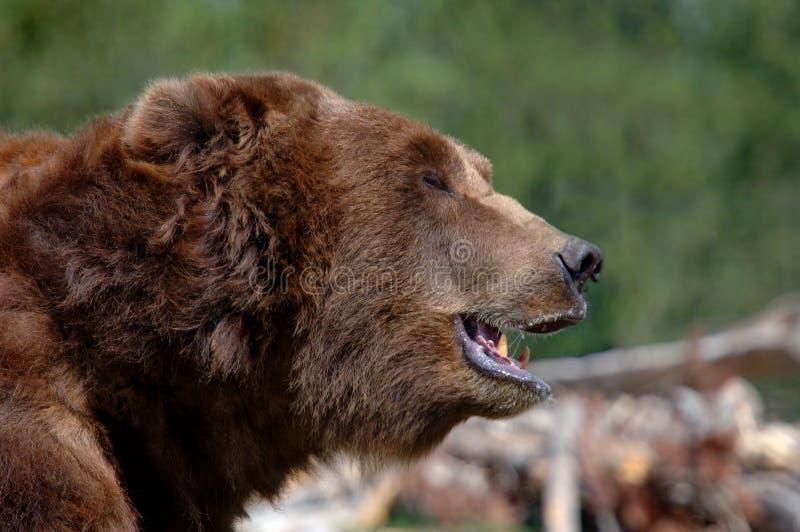 рот гризли медведя открытый Стоковая Фотография