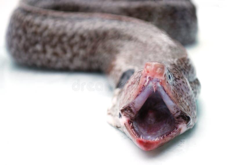 рот moray eel стоковые изображения