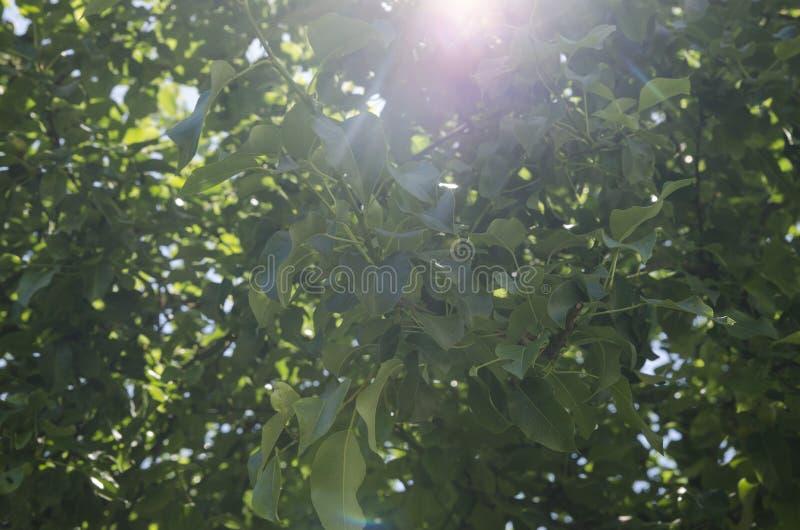 Роща груши стоковые фото