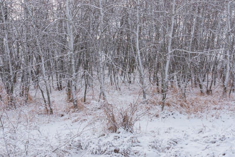 Роща 1 дерева Aspen зимы стоковое изображение rf