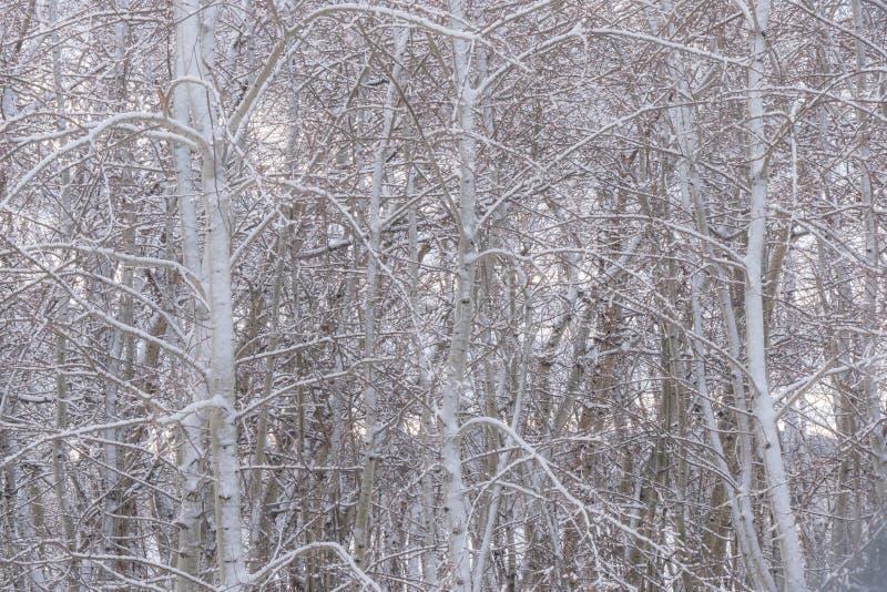 Роща 2 дерева Aspen зимы стоковые изображения rf