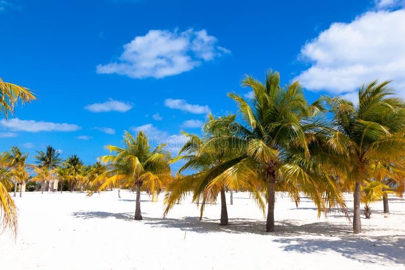Роща ладони с белым песком на острове Largo Cayo карибско Куба стоковое изображение rf