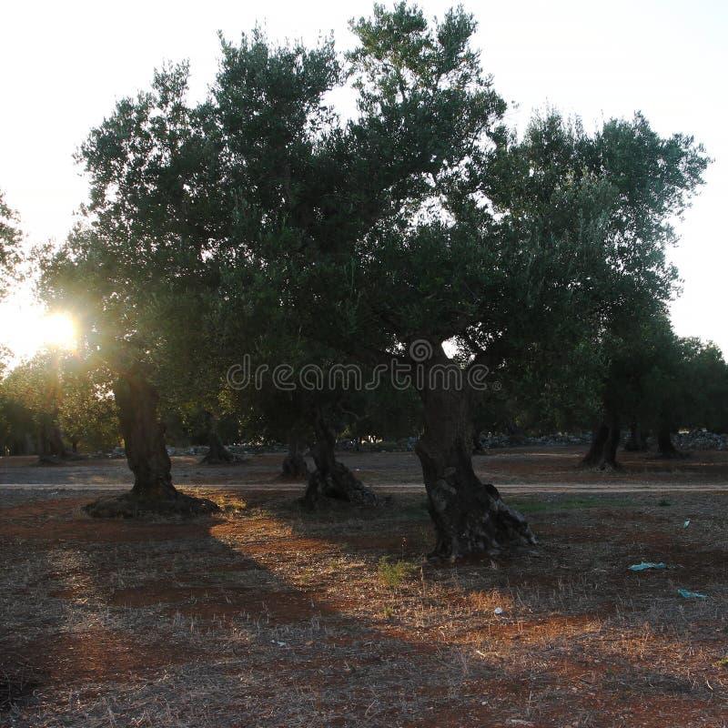 Роща оливковых дерев в Salento в Апулии в Италии стоковое фото rf
