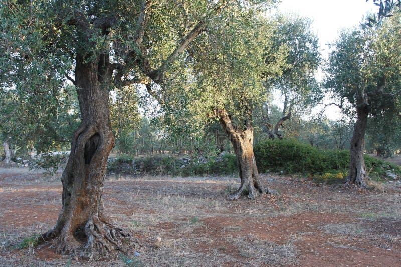 Роща оливковых дерев в Salento в Апулии в Италии стоковая фотография