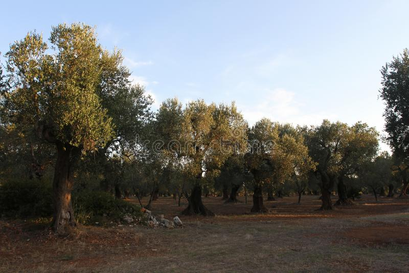 Роща оливковых дерев в Salento в Апулии в Италии стоковое изображение rf